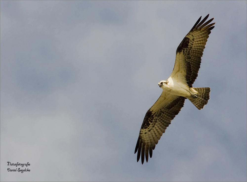 Fischadler über Flamingo (Everglades) (Forum für ...