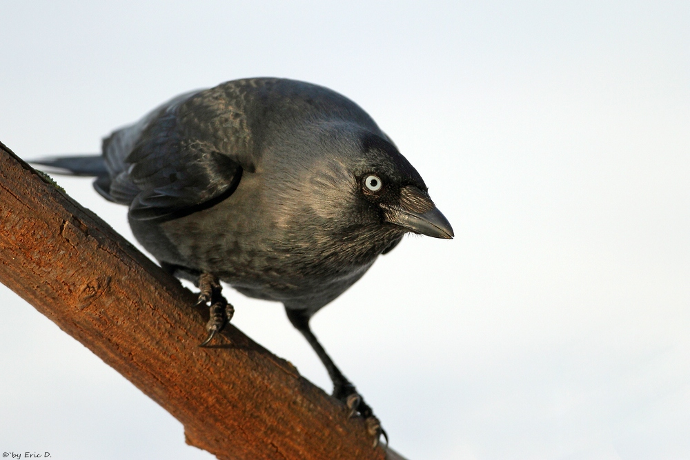 Schlaue Vögel ...  Corvus monedula