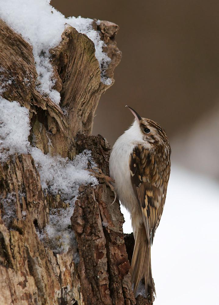 Waldbaumläufer überarbeitet Forum für Naturfotografen