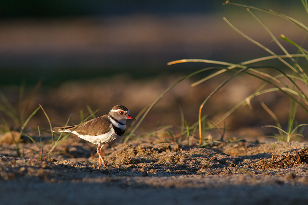 Dreibandregenpfeifer (Three Banded Plover)